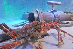 Japanische Riesenkrabbe im Sea Life Königswinter