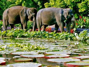 Elefanten und Seerosenteich