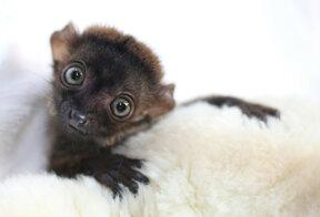 Mulhouse, Parc zoologique et botanique, Lemuriens bébé c Thomas ITTY, m2A