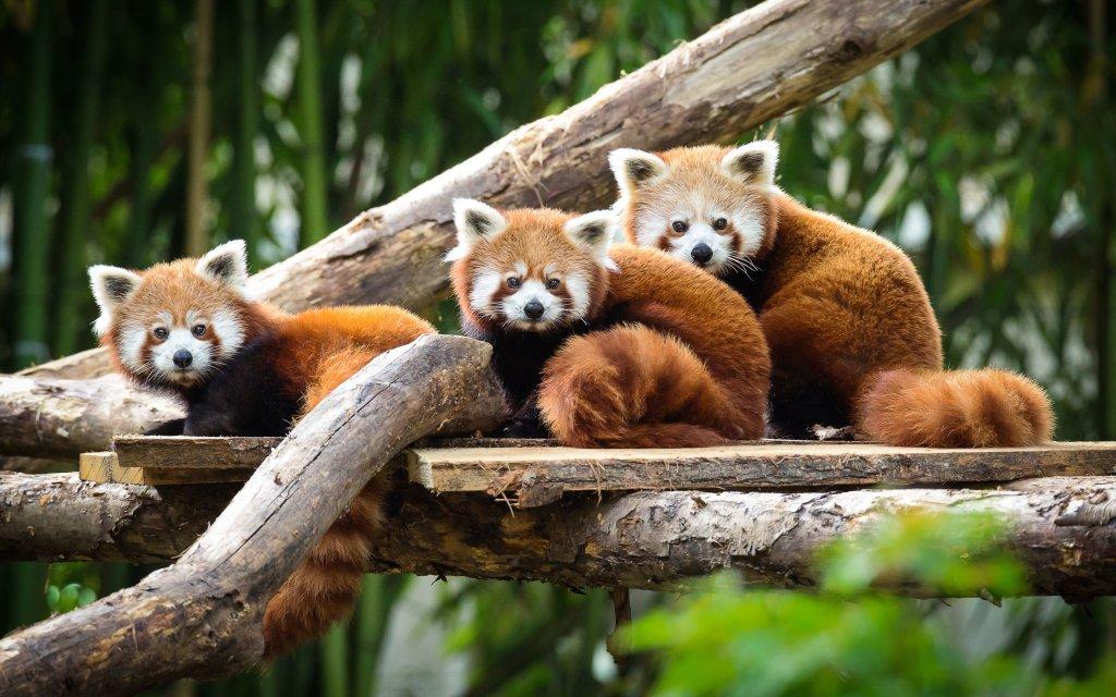 Rote Pandas im Zoo Mulhouse