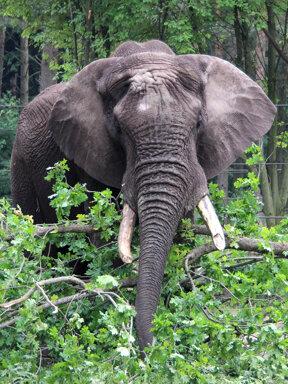 SERENGETI-PARK Tierwelt Elefantenbulle-Tonga