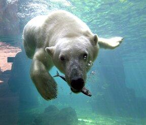 Eisbär Lloyd (c) Zoo am Meer