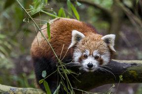 Mulhouse, Parc zoologique botanique, Panda roux, Bioparc Chabot Moy c Dominique Schoenig