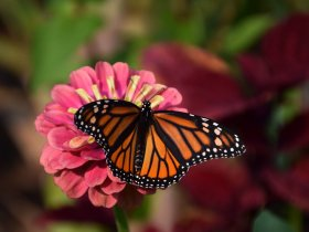 Schmetterling ohne C pixabay (2)