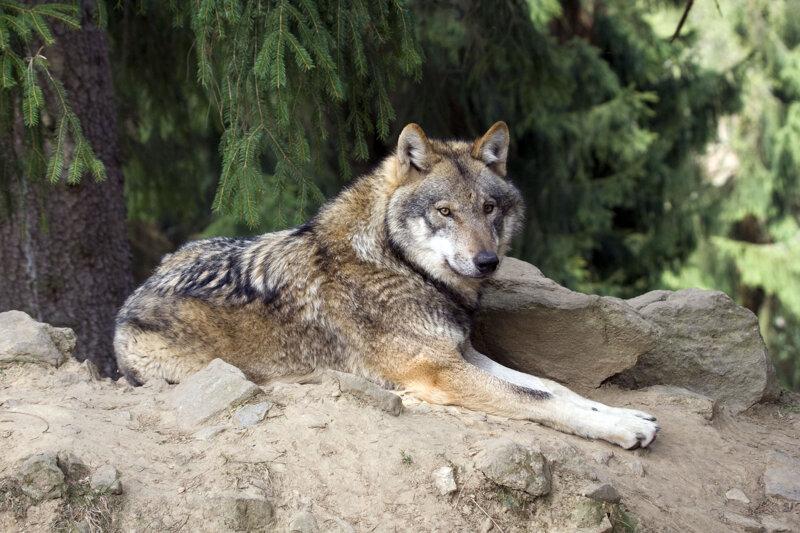 Wolf im Bayerwald Tierpark