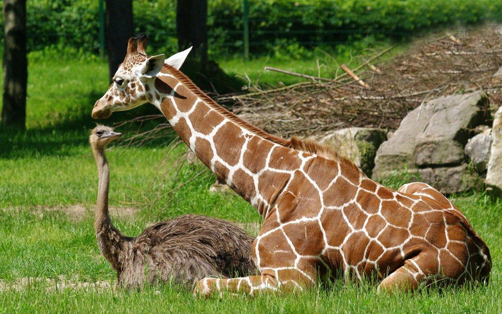 Giraffe und Straß im Tiergarten Nürnberg