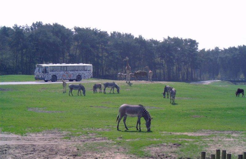 Safaripark Beekse Bergen mit Zebras und Bus