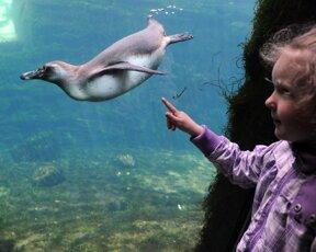 Pinguin unter Wasser  mit Kind