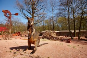 Outback Sumpfwallaby©Erlebnis-Zoo Hannover