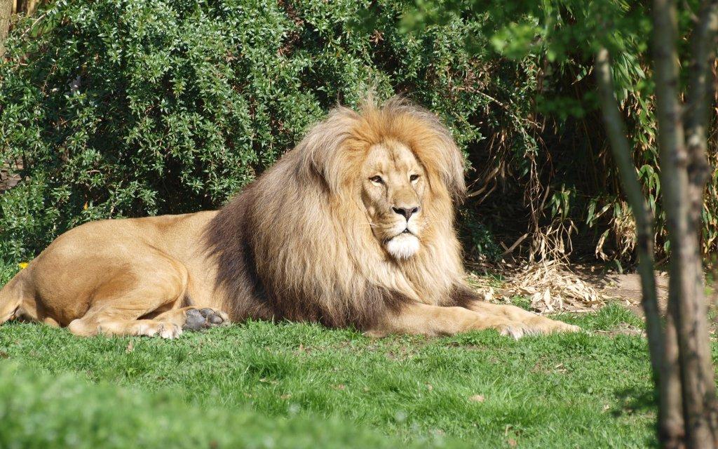 Löwe im Zoo Leipzig