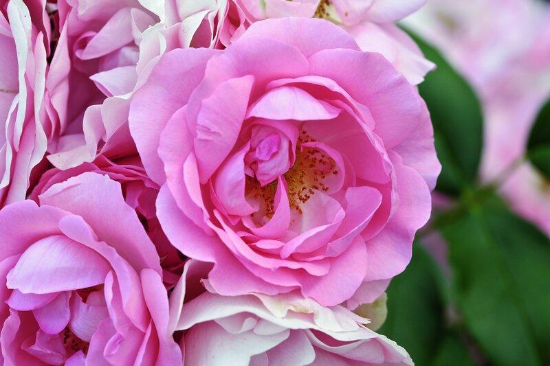 Rosen im Rosengarten Zweibrücken