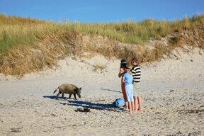 Wildschwein am Darßer Ort, Fischland-Darß-Zingst©Grundner, Thomas, Tourismusverband Mecklenburg-Vorpommern