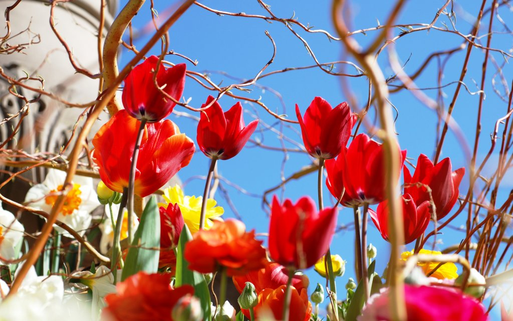 Tulpen von unten