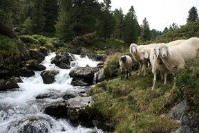 Schafe im Debanttal c Nationalpark Hohe Tauern Amelie Scheifele