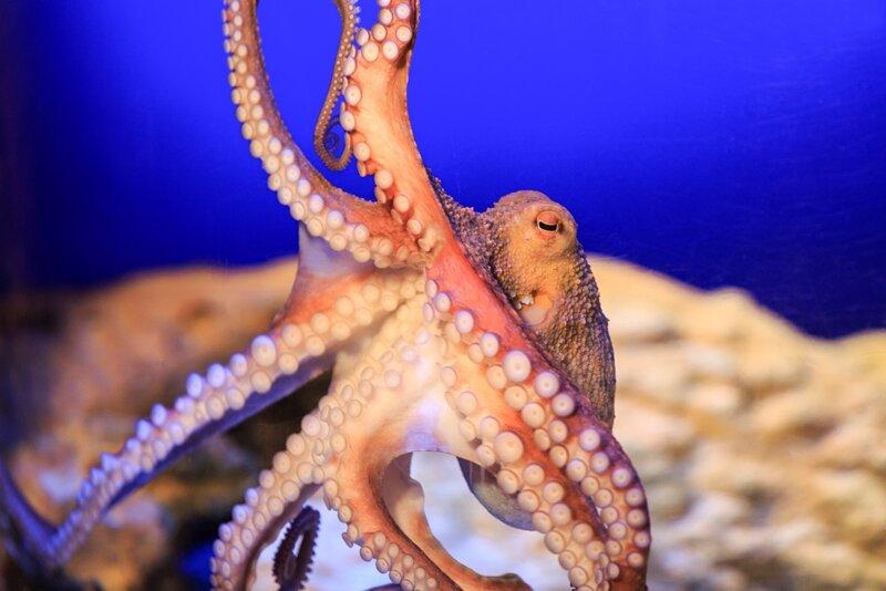 Oktopus Stöpsel©Sea Life Speyer