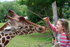 Giraffe im Zoo in Králův Dvůr