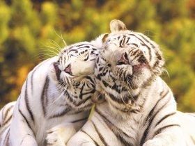 Weiße Tiger 2018