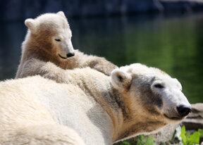 Eisbärenmama und Eisbärenjunges in der Zoom Erlebniswelt Gelsenkirchen