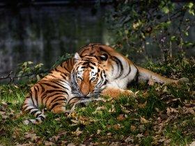 Tiger c pixabay