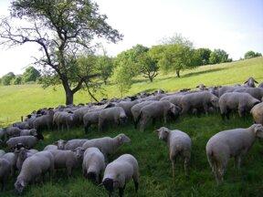 Schafe hinter dem Hotel