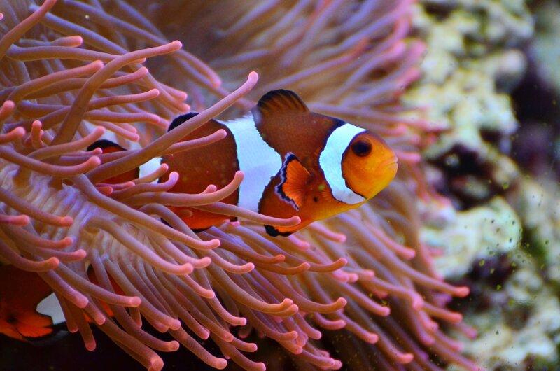 Anemonenfisch Aquarium Sylt