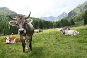 Kuh Gaimberger Alm c Nationalpark Hohe Tauern Steiner