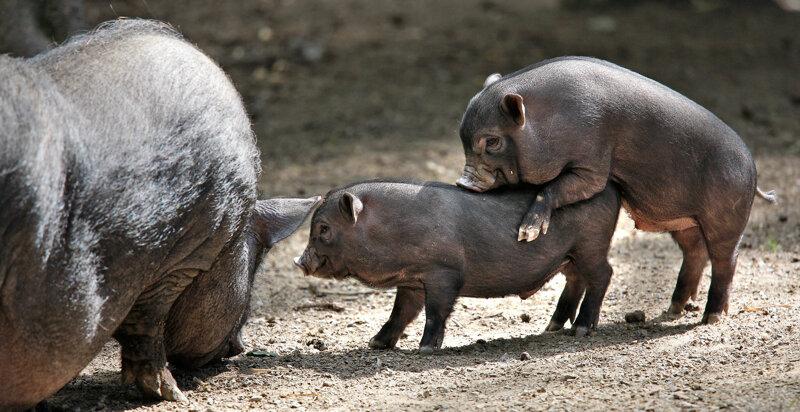 Wildpark Hängebauchschweine