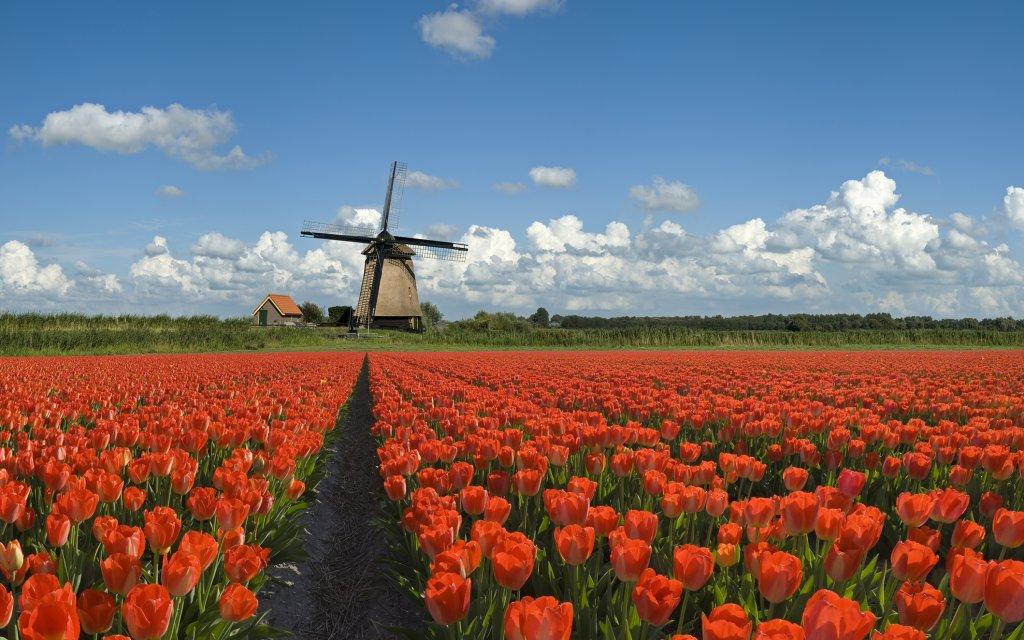 Rotes Tulpenfeld mit Windmühle im Hintergrund