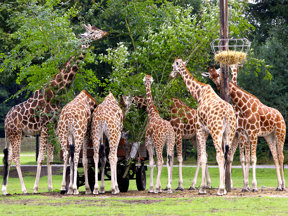 SERENGETI-PARK Tierwelt Giraffenfuetterung