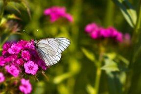 Schmetterling (2) ohne C pixabay