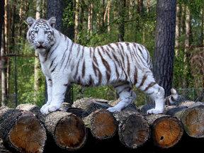 Weißer Tiger c Serengeti-Park Hodenhagen GmbH