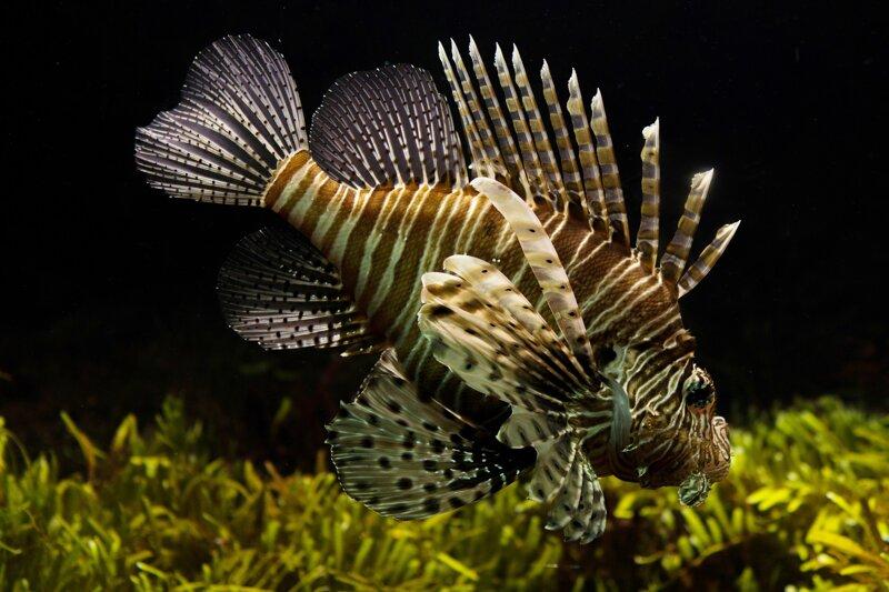 Feuerfisch Aquarium Sylt
