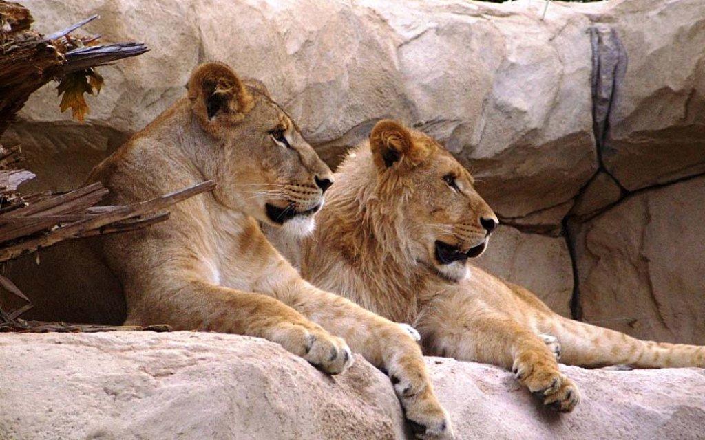 Löwen in Dresdener Zoo