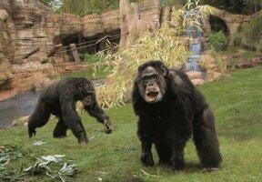 Kibongo Schimpansen ©Erlebnis-Zoo Hannover