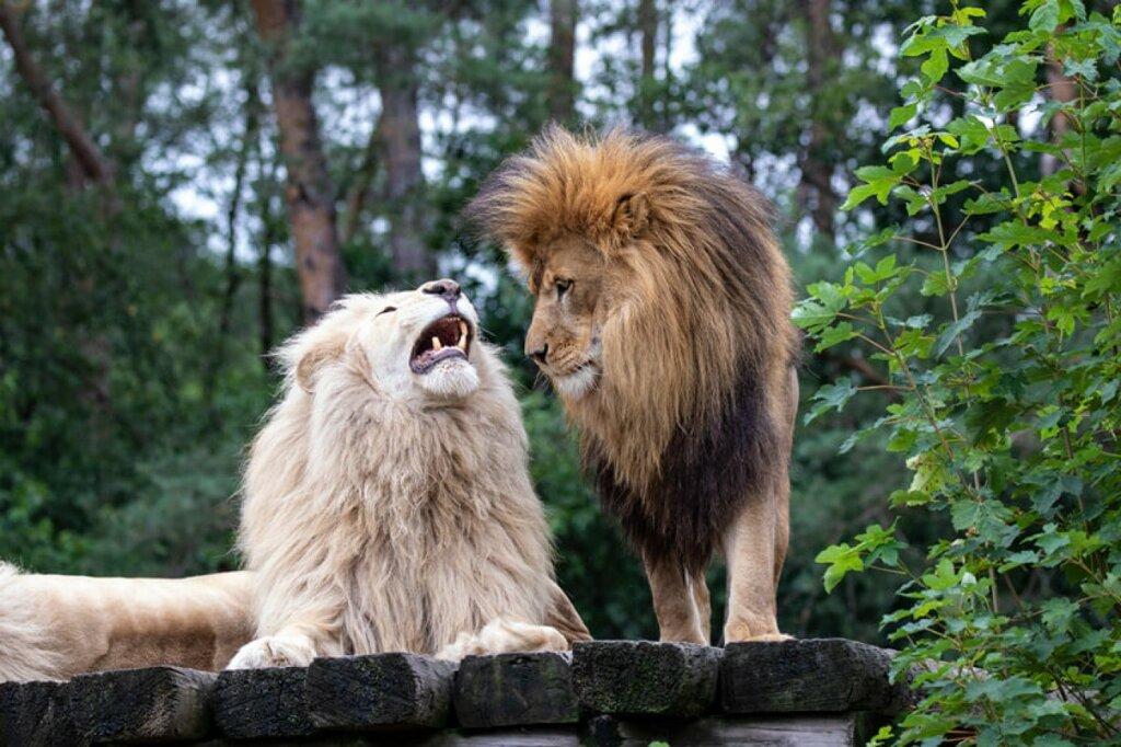 Löwen im Safariland
